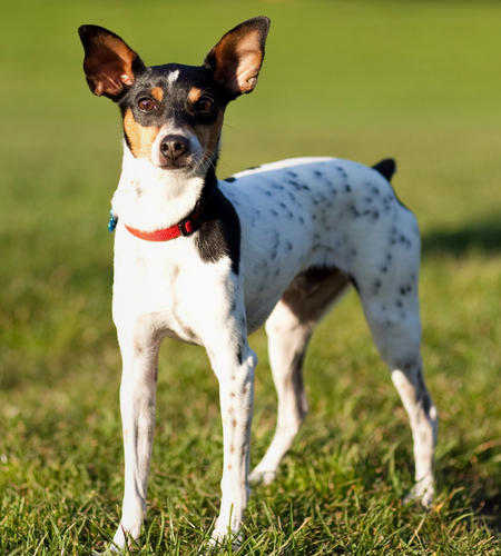 rat terrier dogs 101 american rat terrier archives toate animalele 9665