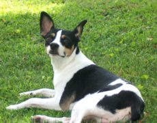 rat terrier dogs 101 rat terrier info temperament care puppies pictures 8729