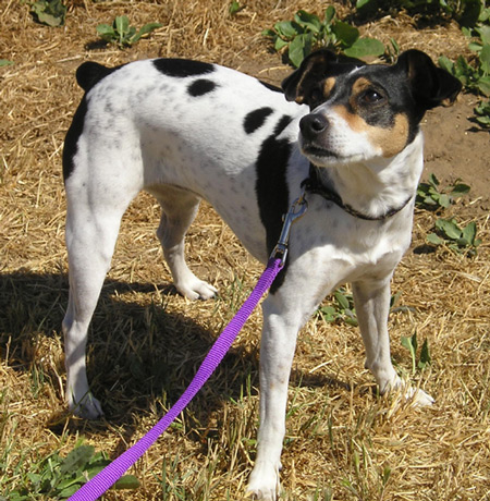 rat terrier dogs 101 rat terrier info temperament care puppies pictures 3817