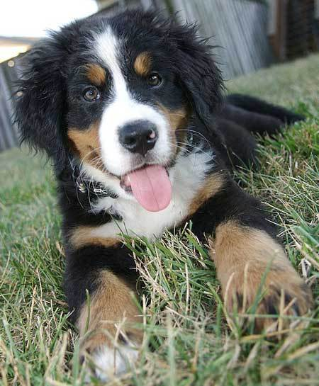 Bernese Mountain Dog Info Temperament