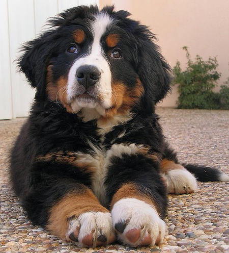 Bernese Mountain Dog Border Collie Mix Puppies Bernese Mountain Dog I...