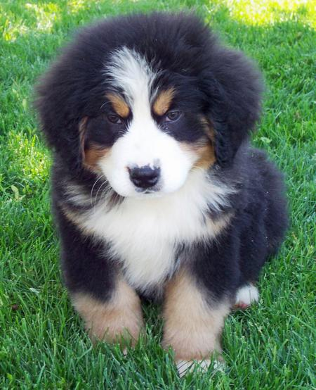 Bernese Mountain Dog German Shepherd Mix Puppies