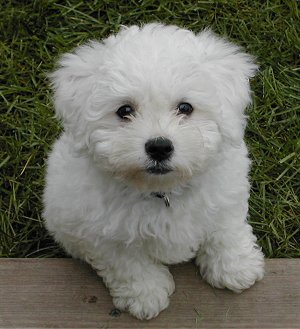 Bichon Poo (Bichon-Poodle mix) Info, Puppies, Pictures ...