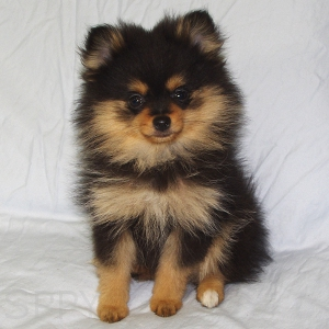 chihuahua pomeranian mix full grown pomchi pomeranian chihuahua mix info temperament 4857