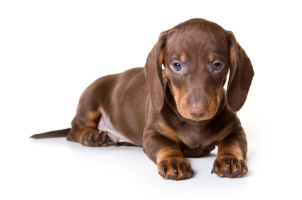 Miniature Dachshund Facts, Info, Temperament, Puppies ...