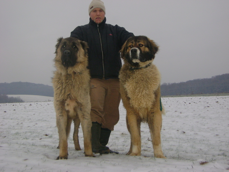 Caucasian Mountain Shepherd For Sale >> Caucasian Ovcharka Dog Info Temperament Puppies Training