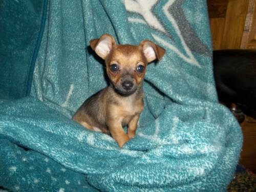 Are Chiweenies Good Dogs