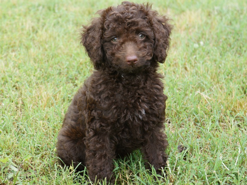 Chocolate Mini Labradoodle Miniature Full Grown