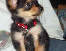 Chorkie Yorkie Chihuahua Mix Info Temperament Puppies Pictures