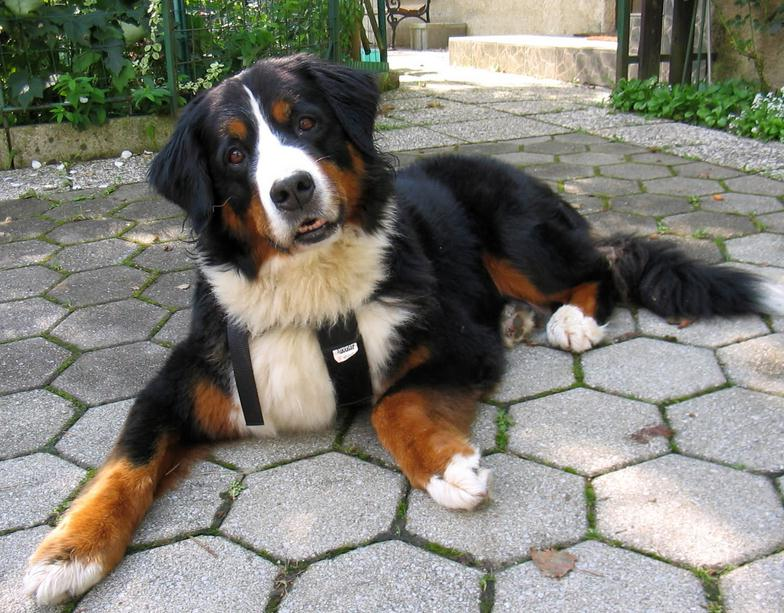 Bernese Mountain Dog Info Temperament Puppies Training