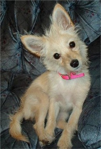 chihuahua pomeranian mix full grown pomchi pomeranian chihuahua mix info temperament 8783