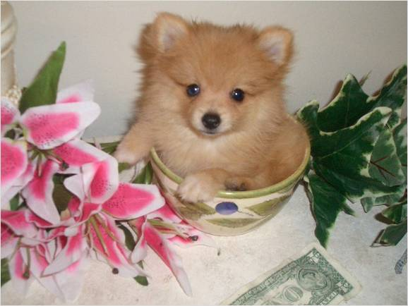 teacup pomeranian full grown size pomchi pomeranian chihuahua mix info temperament 5495