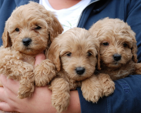 Miniature Labradoodle Dog Info Temperament Puppies Training Pictures