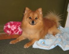 chihuahua pomeranian mix full grown pomchi pomeranian chihuahua mix info temperament 6413