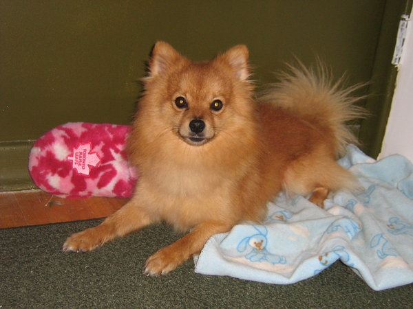 chihuahua pomeranian mix full grown pomchi pomeranian chihuahua mix info temperament 6905