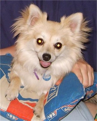 chihuahua pomeranian mix full grown pomchi pomeranian chihuahua mix info temperament 1910