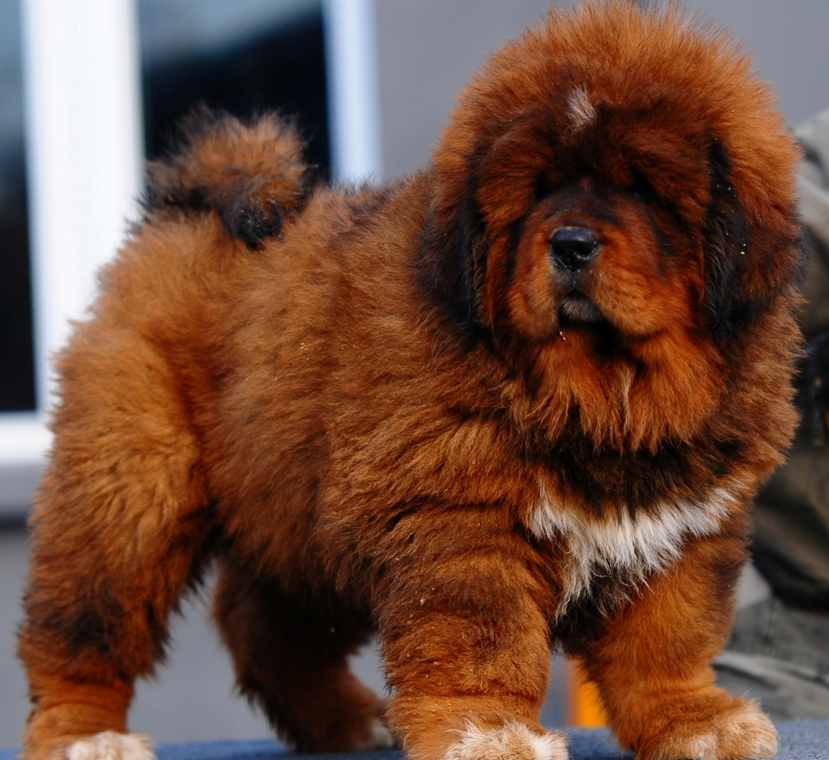 4d5994b23 Tibetan Mastiff Dog Info, Puppies, Sale Cost, Facts, Pictures