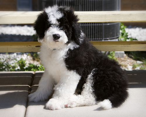 Sheep Poodle Mix Goldenacresdogscom