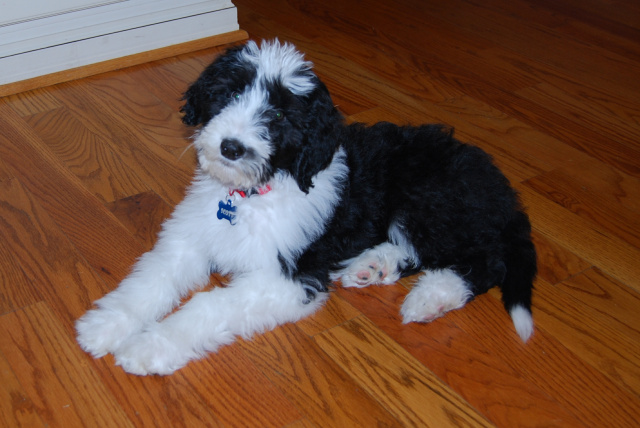 Sheepadoodle Sheepdog Poodle Mix Info Miniature Puppies