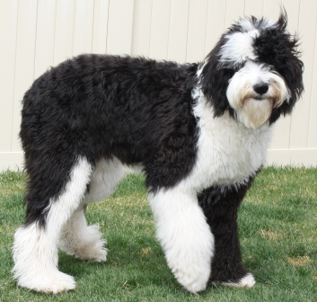 australian sheep dog mix