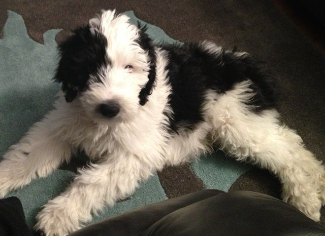 Sheepadoodle Sheepdog Poodle Mix Info Miniature Puppies Pictures