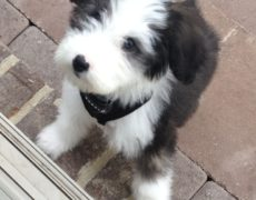 Sheepadoodle (Sheepdog-Poodle mix) Info, Miniature ...