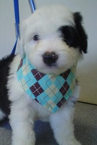 Sheepadoodle Sheepdog Poodle Mix Info Miniature