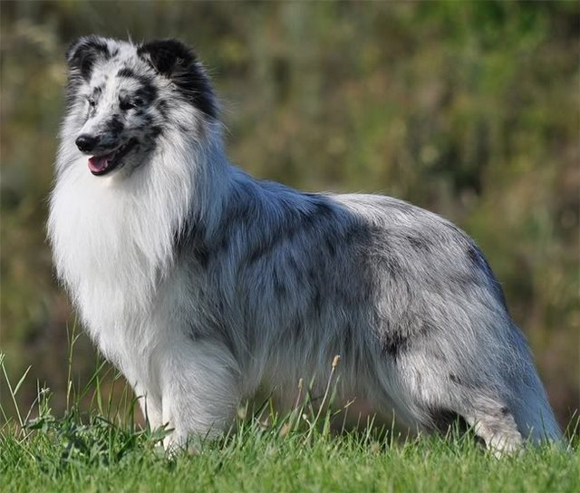 Shetland Sheepdog Sheltie Info Puppies Pictures