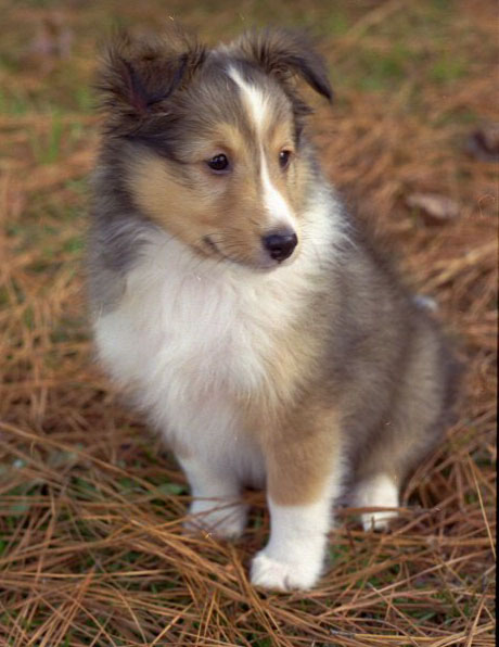 Shetland Sheepdog Sheltie Info Puppies Pictures Temperament