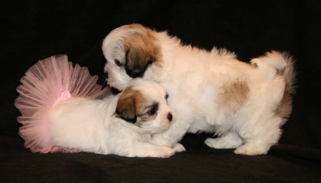 Shichon Teddy Bear Shih Tzu Bichon Mix Info Temperament