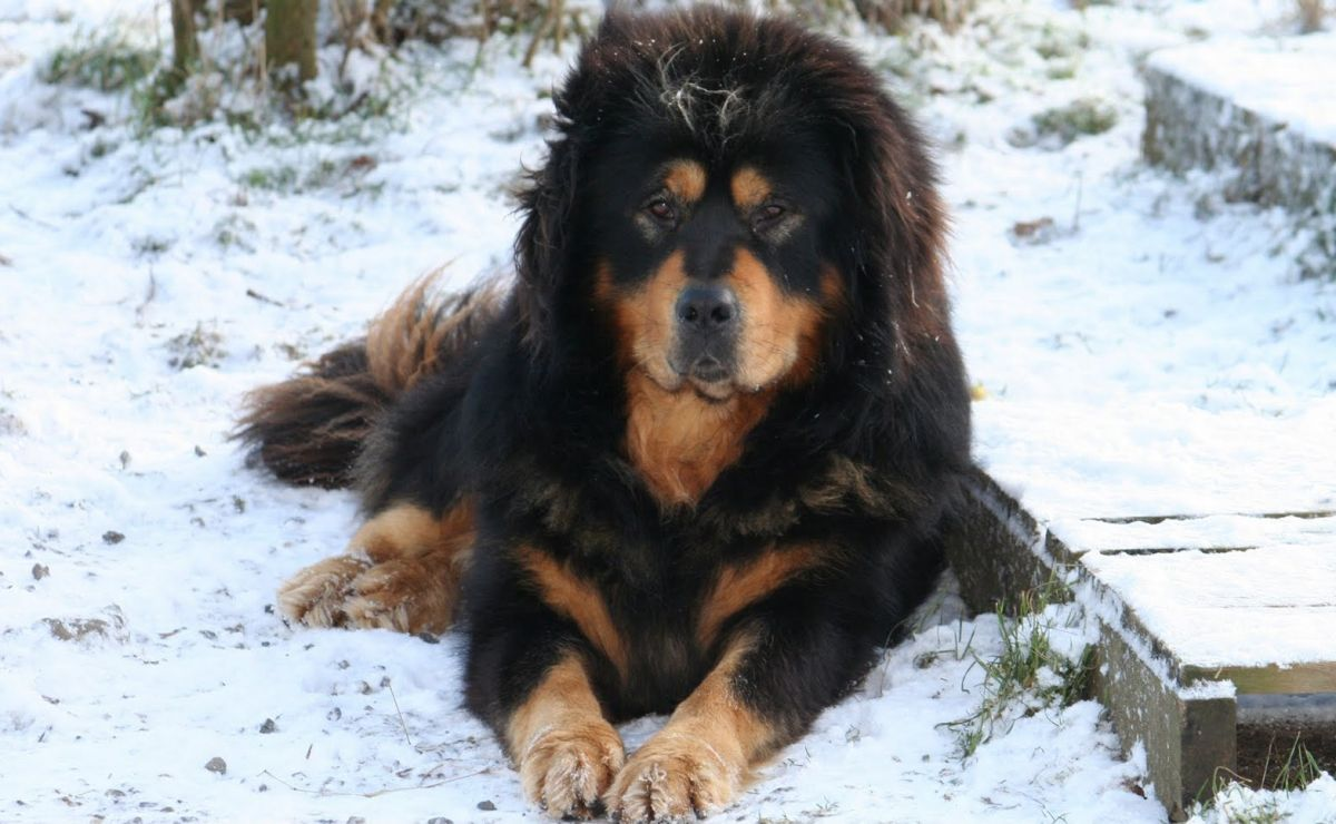 Large Dog Breeds From Asia