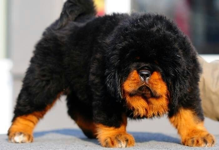 Tibetan Mastiff Puppy Price Usa - Goldenacresdogs com