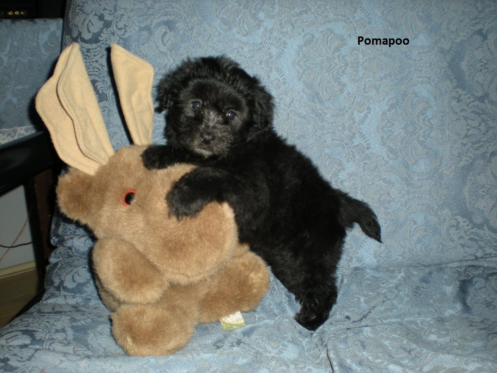 Black Pomapoo Puppy Pictures