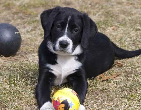 Borador (Border Collie-Lab Mix) Info, Puppies, Temperament ...