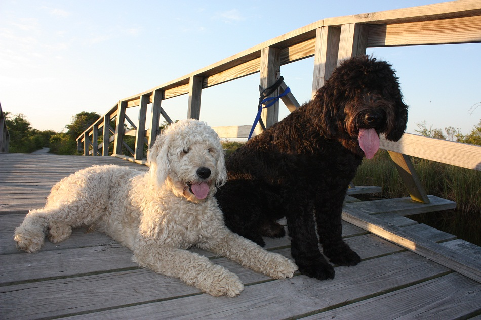 Double Doodle Dogs Info, Temperament, Training, Puppies