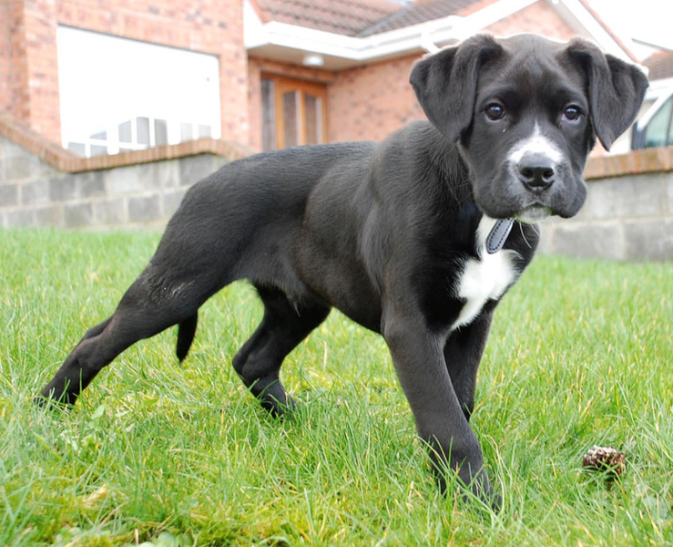 Boxer Dogs Boxer Dog Breed Info amp Pictures  petMD