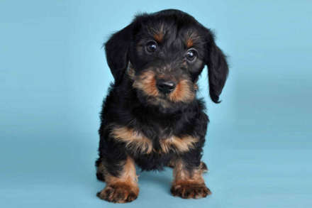 Dorkie Dachshund Yorkie Mix Info Temperament Puppies Pictures