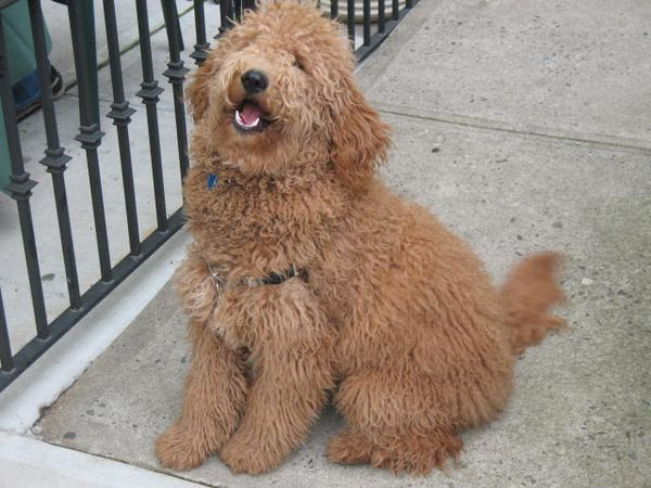 Double Doodle Dogs Info, Temperament, Training, Puppies ...