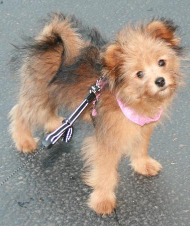 pomeranian mix with poodle pomapoo pomeranian poodle mix info temperament puppies 5859