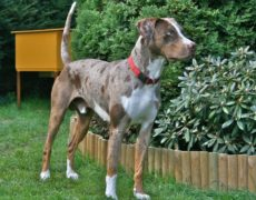 Louisiana Catahoula Leopard Dog (Catahoula Cur)