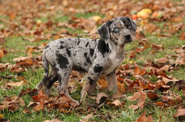 Louisiana Hound Dog Breeds