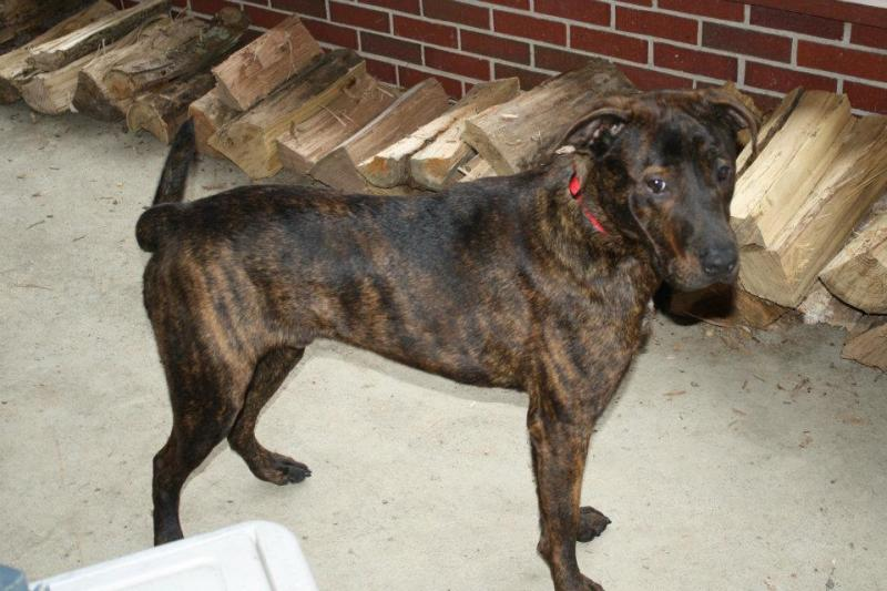 Mountain Cur Dog Breed Info, Facts, Temperament, Puppies, Pictures