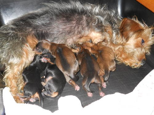 Dorkie (Dachshund-Yorkie Mix) Info, Temperament, Puppies ...