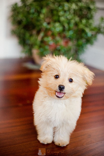 Pomapoo (Pomeranian-Poodle mix) Info, Temperament, Puppies ...