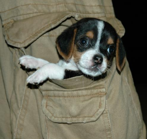 Pocket Beagle Dog Info, Temperament, Training, Puppies ...