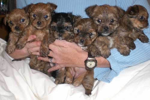 Snorkie Schnauzer Yorkie Mix Info Temperament Puppies Pictures