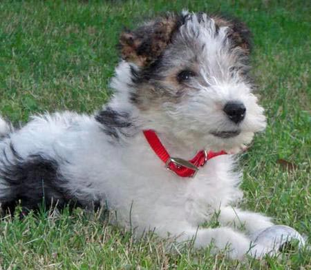 Wire Fox Terrier Poodle Mix Puppies