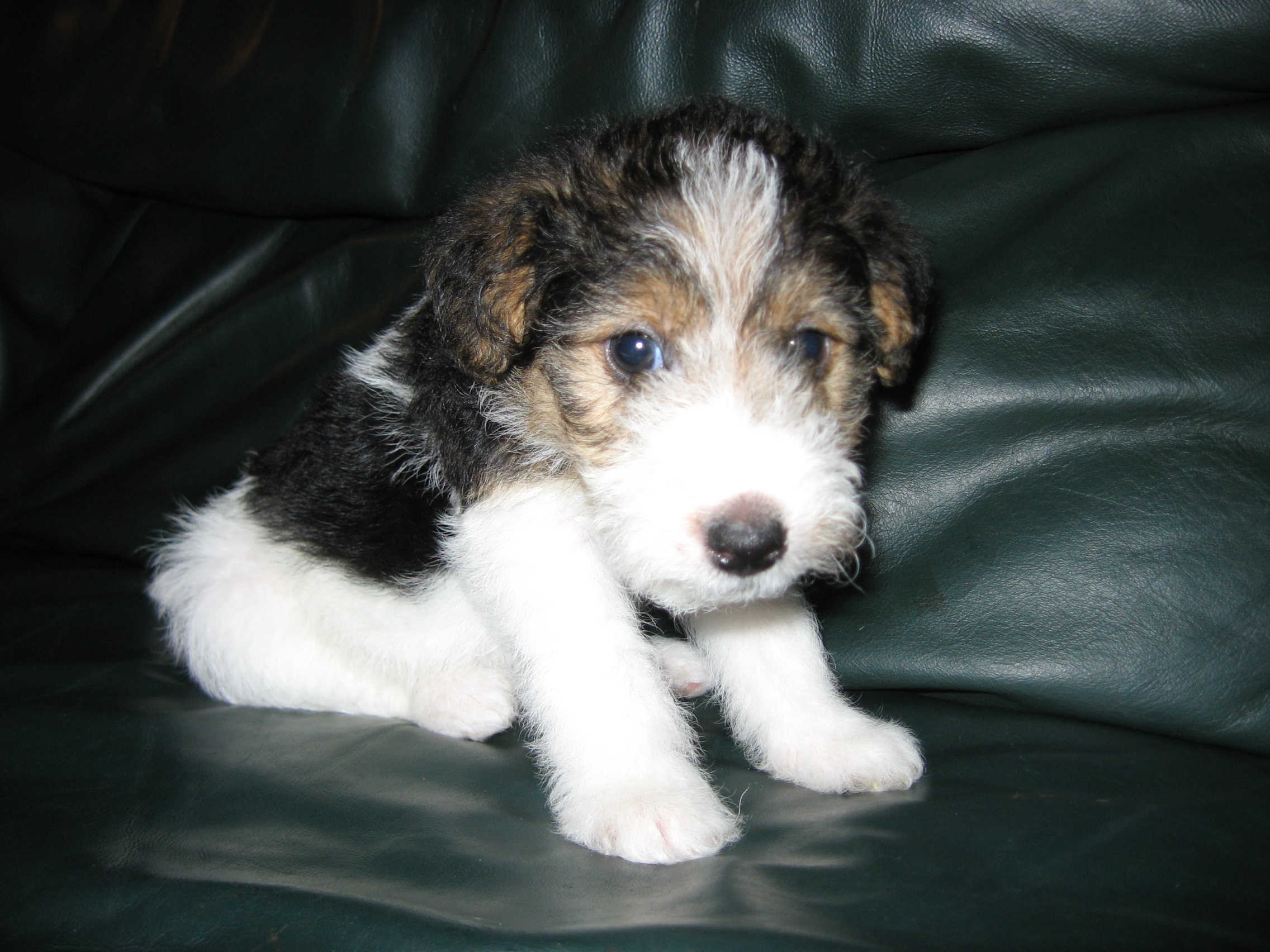 Wirehair Fox Terriers For Sale Wire Center Rgpv Mca Master Jk Flip Flop Circuit Diagram Terrier Info Temperament Grooming Puppies Pictures Rh 101dogbreeds Com Wirehaired