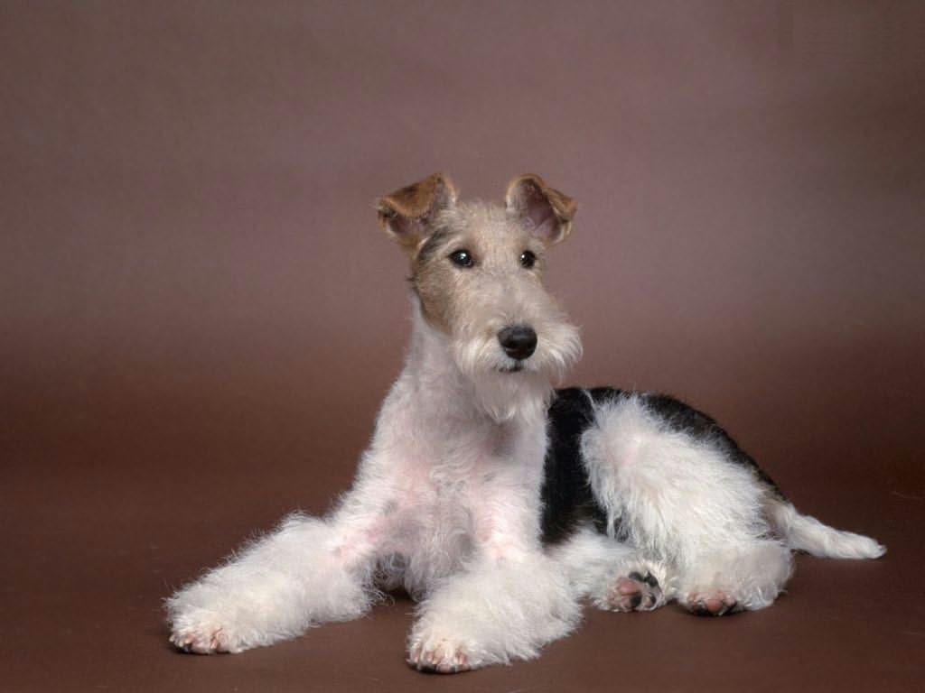 Wire Fox Terrier Info Temperament Grooming Puppies