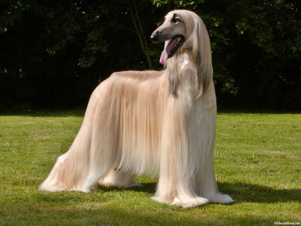 Afghan Hound Info Temperament Mixes Training Puppies